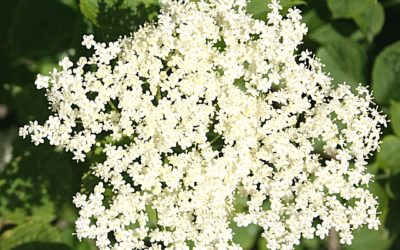 Elderflower Power